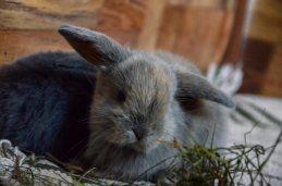Kaninchen-Helpline-Babykaninchen-grau